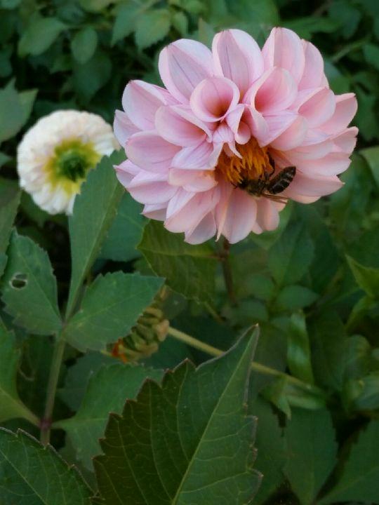 Kvetoucí jiřinka