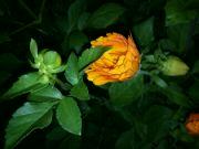 Kvetoucí měsíček lékařský v noci
