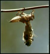 Zrod vážky