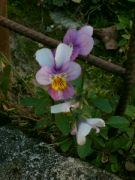 Kvetoucí violka: Václav Kovalčík, Zlín
