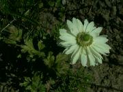 Kvetoucí sasanka: Václav Kovalčík, Zlín