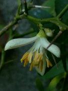 Kvetoucí Citrus: Václav Kovalčík, Zlín