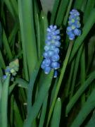Kvetoucí modřence v noci