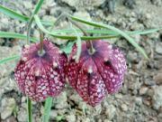 Fritillaria meleagris: Václav Kovalčík
