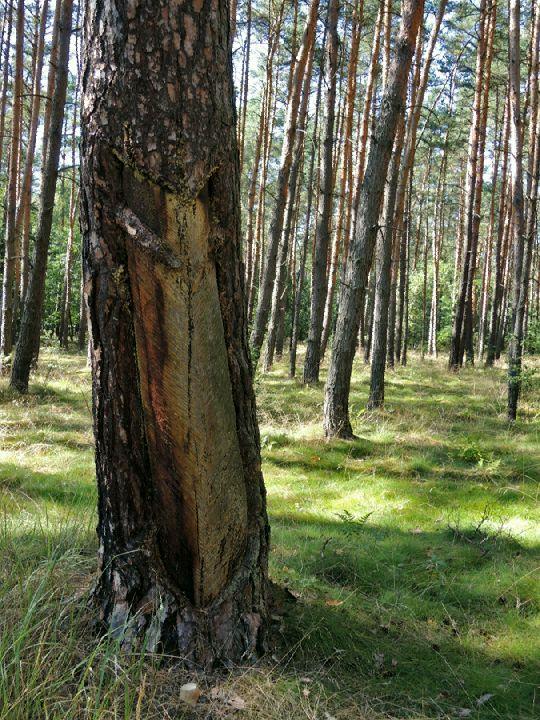 Smolná borovice