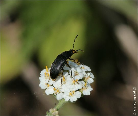 Květomil černý