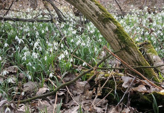 Sněženky v lese u Labe