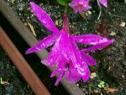 Orchidej Pleione ´Tongariro´ v dešti